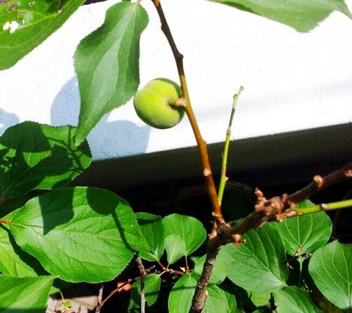 201305223 梅の実.jpg