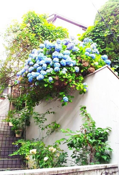 20130531 アジサイ咲いた.jpg