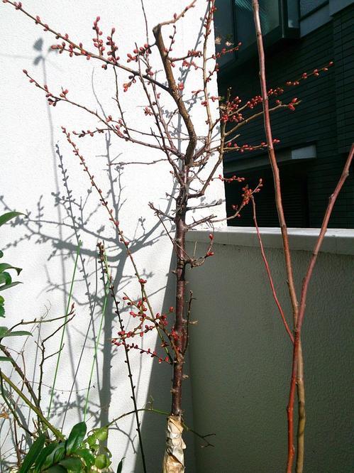 20140228_梅の木.jpg