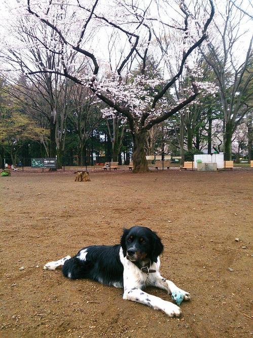 20140330_ドッグランの桜.jpg