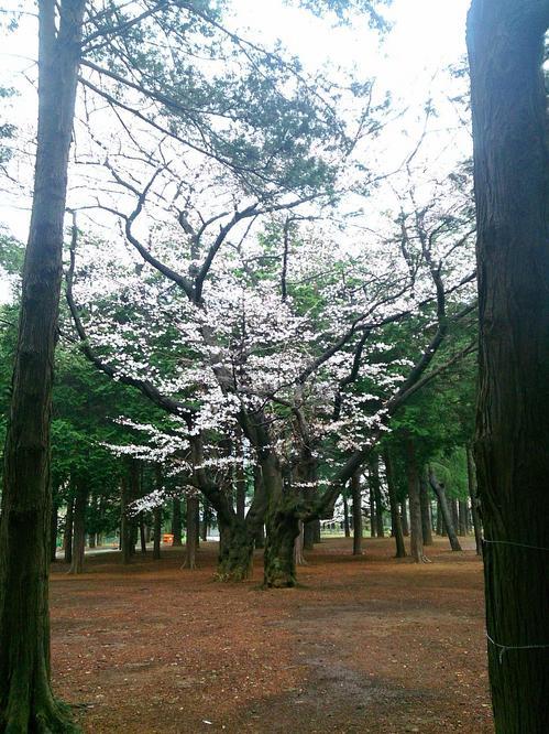20140330_一番好きな桜.jpg