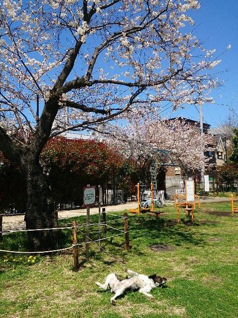 20140331 桜の下は気持ちいい.jpg
