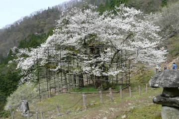樽見の大桜✿