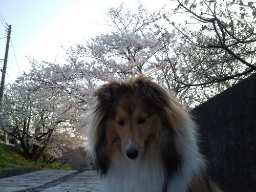 ノアと桜.jpg