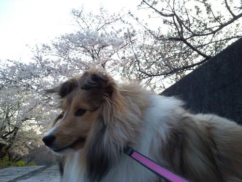 ノアと桜2.jpg
